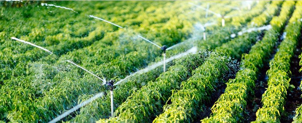 Sprinklers in a field of peppers